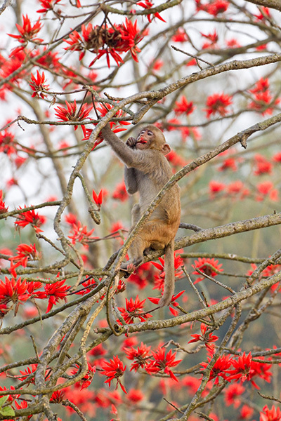 """Macaque Feeding on Silk Cotton Blossoms""     Assam, India"