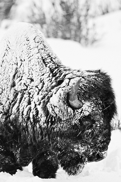 """Bison in Blizzard""     Yellowstone National Park, Wyoming"