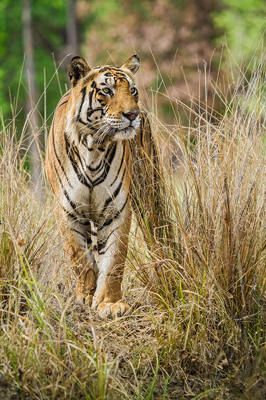 """Male Tiger Out In The Open""     Kanha National Park, India"