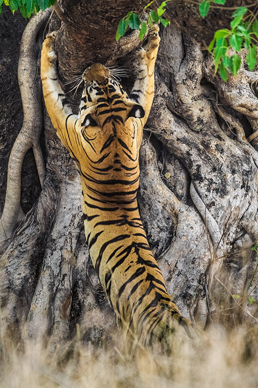 """Male Tiger Scratch-Marking Tree""     Kanha National Park, India"
