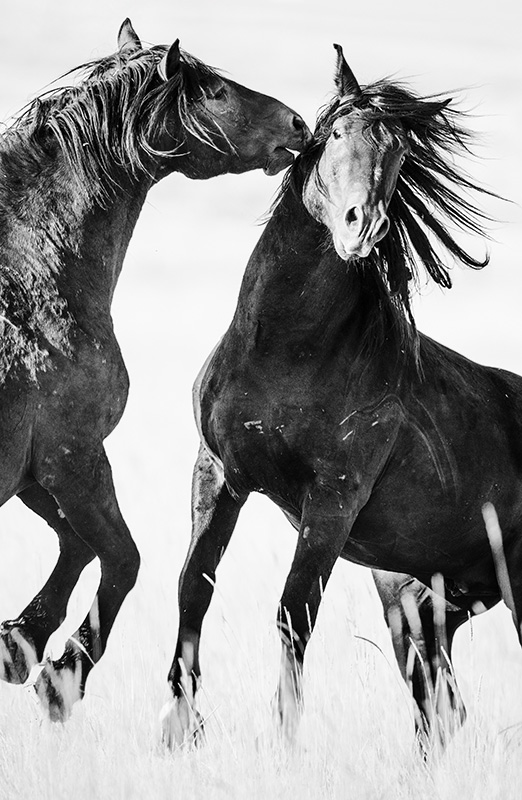 """Mustang Altercation""     Northwest Wyoming"