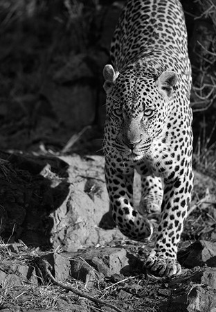 """Londolozi Male Leopard""     Londolozi Game Reserve, South Africa"