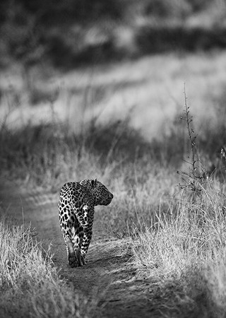 """Leopard on the Road""     Londolozi Game Reserve, South Africa"