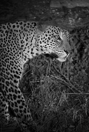 """Leopard Emerging from the Dark""     South Luangwa National Park, Zambia"