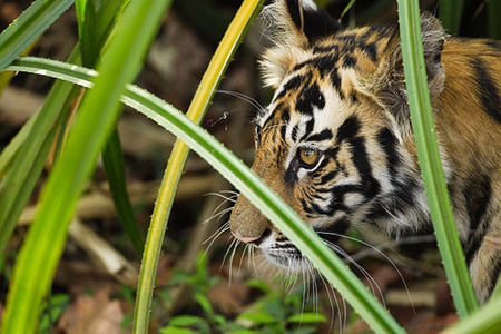 """Tiger Cub in Thicket""     Bandhavgarh National Park, India"
