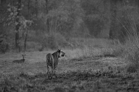 """Male Tiger (Pamera) Crossing Meadow at Dusk""     Bandhavgarh National Park, India"