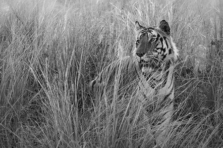 """Male Tiger Sitting in Grass""     Kanha National Park, India"