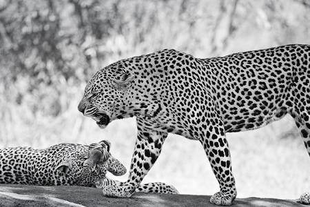 """Father and Son (Male Leopards) in B&W""     Londolozi Game Reserve, South Africa"
