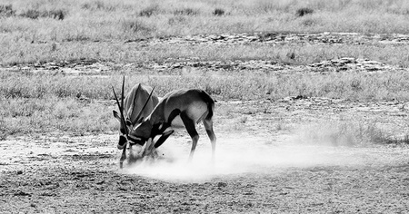 """Sparring Gemsbok (Oryx)""     Kgalagadi Transfrontier Park, South Africa"