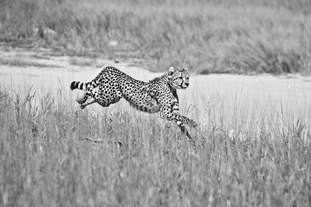 """Cheetah in Pursuit""     Kgalagadi Transfrontier Park, South Africa"