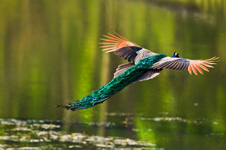 """Peacock in Flight""     Kanha National Park, India"