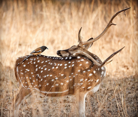 """The Chital and The Bird (Rufous Treepie)""     Bandhavgarh National Park, India"