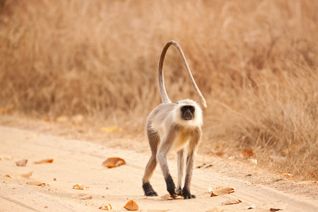 """Langur on the Road""     Kanha National Park, India"