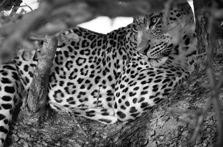 """Leopard in Tree""     Londolozi Game Reserve, South Africa"