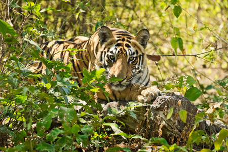 """Tiger Cub In Forest III""     Bandhavgarh National Park, India"