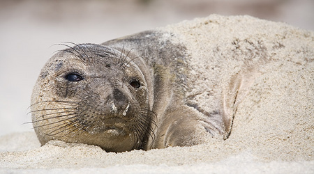 """Elephant Seal Pup""     Point Lobos State Reserve, California"