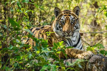 """Tiger Cub In Forest II""     Bandhavgarh National Park, India"