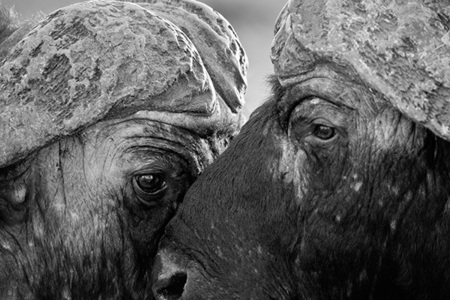 """Cape Buffaloes Eye to Eye""     Londolozi Game Reserve, South Africa"