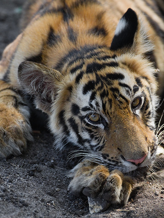 """Tiger Cub's Inquisitive Stare""     Bandhavgarh National Park, India"