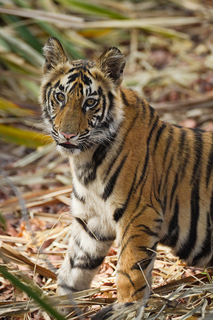 """Tiger Cub""     Bandhavgarh National Park, India"