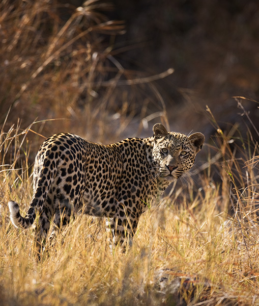 """Male Leopard in Grass""     Londolozi Game Reserve, South Africa"