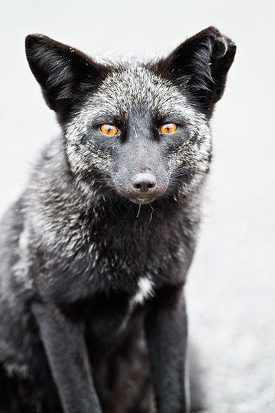"""Fox Portrait (Black Variant of Red Fox)""     Washington State"