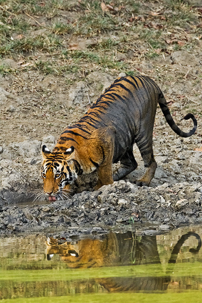 """Young Tigress Drinking At Waterhole""     Kanha National Park, India"