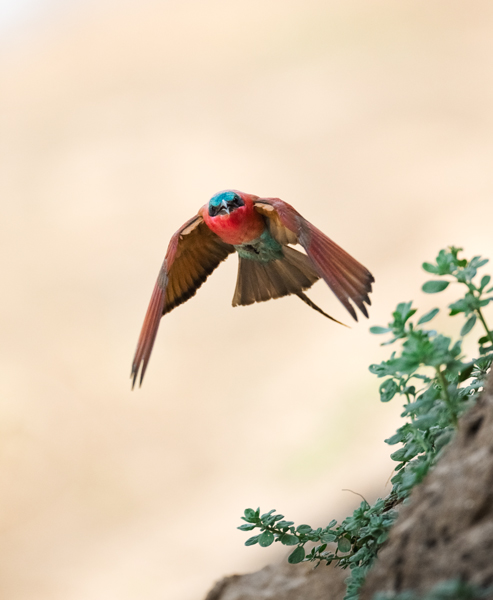 """Carmine Bee-Eater Flying In""     South Luangwa National Park, Zambia"