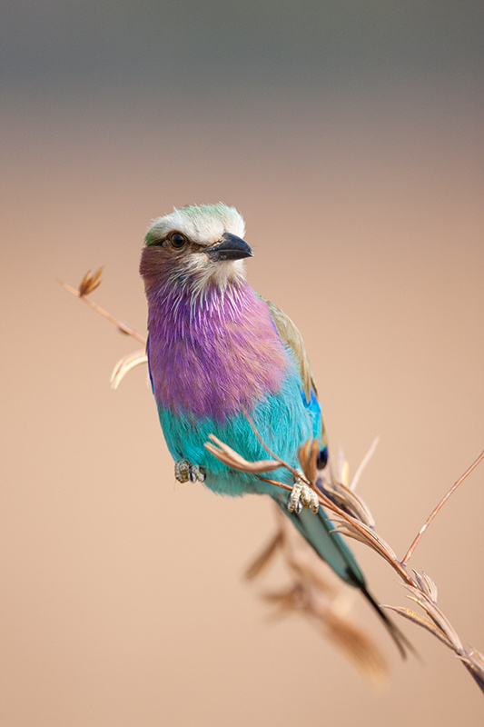 """Lilac Breasted Roller II""     South Luangwa National Park, Zambia"