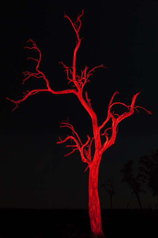 """Painted Leadwood"" (""painted"" during a long exposure with a red-flitered spotlight; the red/black color combination just is African to me)     South Luangwa National Park, Zambia"