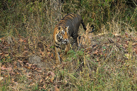 """Tigress Moving Through Jungle II""     Kanha National Park, India"