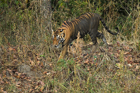 """Tigress Moving Through Jungle I""     Kanha National Park, India"
