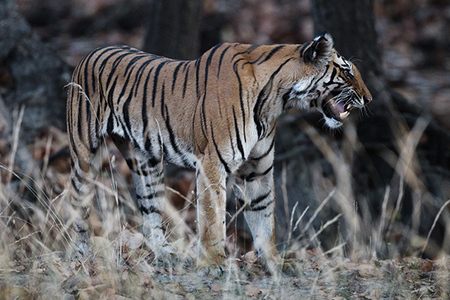 """Tigress Exhibiting Flehmen Response (Picking Up Scent)""     Bandhavgarh National Park, India"