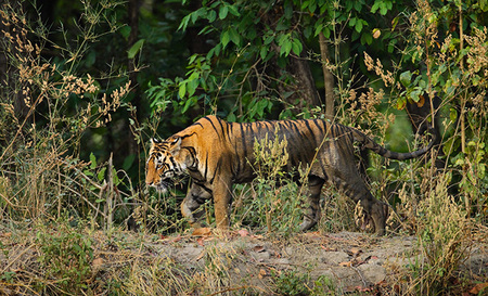 """Tigress on the Prowl""     Kanha National Park, India"