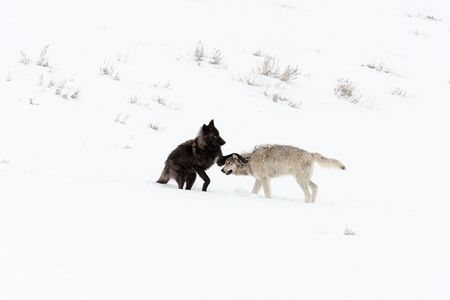 """Wolves at Play II (Druid Pack 2008)""     Lamar Valley, Yellowstone National Park, Wyoming"