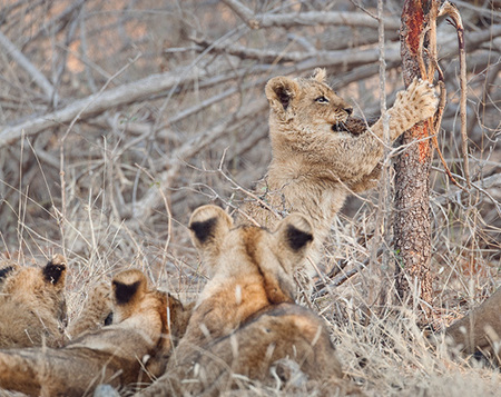 """Lion Cub at Play""     South Luangwa National Park, Zambia"