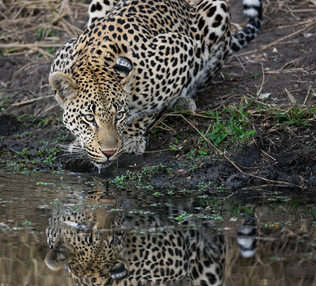 """Leopard Drinking""     Londolozi Game Reserve, South Africa"