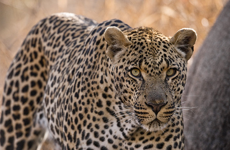 """Male Leopard""     Londolozi Game Reserve, South Africa"