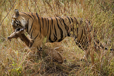 """Male Tiger Carrying Off his Prize""     Kanha National Park, India"