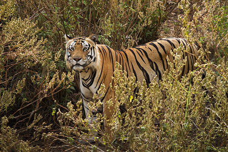 """Male Tiger Scanning for Chitals""     Kanha National Park, India"