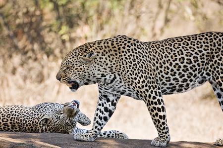 """Father and Son (Male Leopards)""     Londolozi Game Reserve, South Africa"