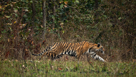 """Kanha Tigress Stalking I""     Kanha National Park, India"