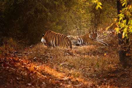 """Subadult Tigers""     Bandhavgarh National Park, India"