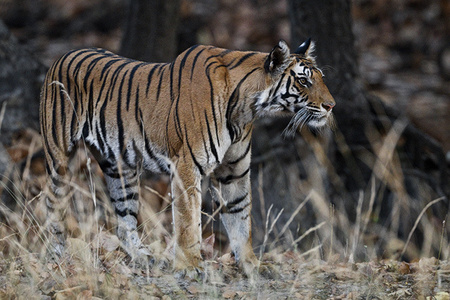 """Alert Tigress""     Bandhavgarh National Park, India"