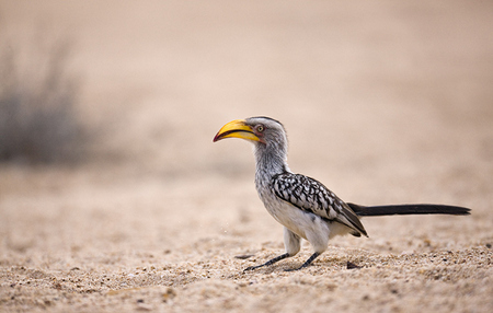 """Yellow Billed Hornbill""     Timbavati Game Reserve, South Africa"