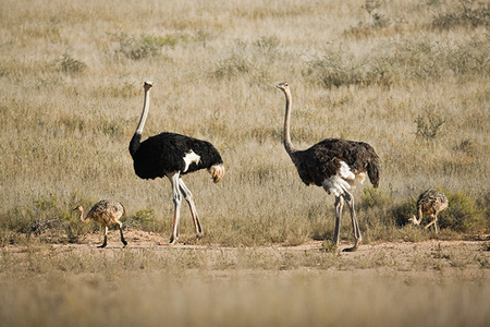 """Ostrich Family""     Kgalagadi Transfrontier Park, South Africa"