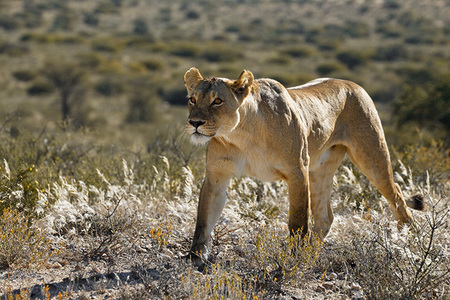 """Lioness Moving""     Kgalagadi Transfrontier Park, South Africa"