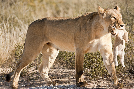"""Lioness Moving Cub II""     Kgalagadi Transfrontier Park, South Africa"