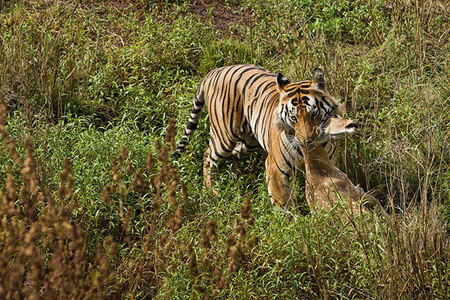 """Tiger Kill II""     Kanha National Park, India"