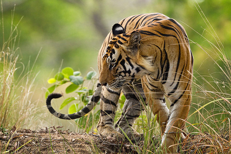 """Tiger on a Ridge""     Kanha National Park, India"